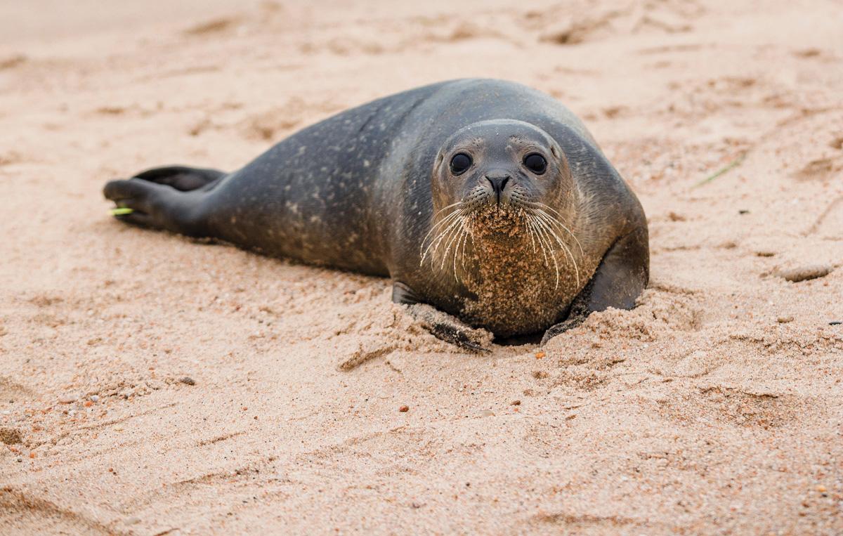 harbor-seals