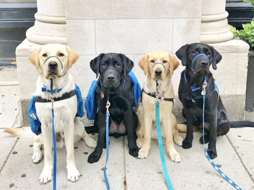 Pups In Cambridge (darcy, Baxter, Pride, Mikey Left To Right)