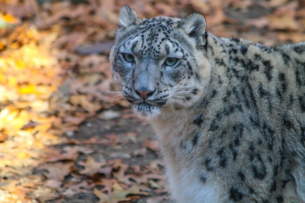 Snow Leopard Fall
